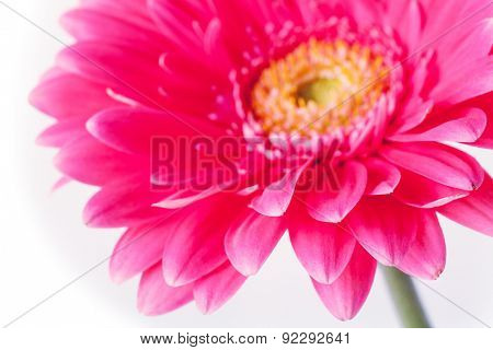 Spring flower.Isolated on white background.