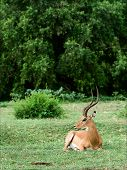 The impala has a rest. The impala an antelope lies on a green grass and has a rest. poster