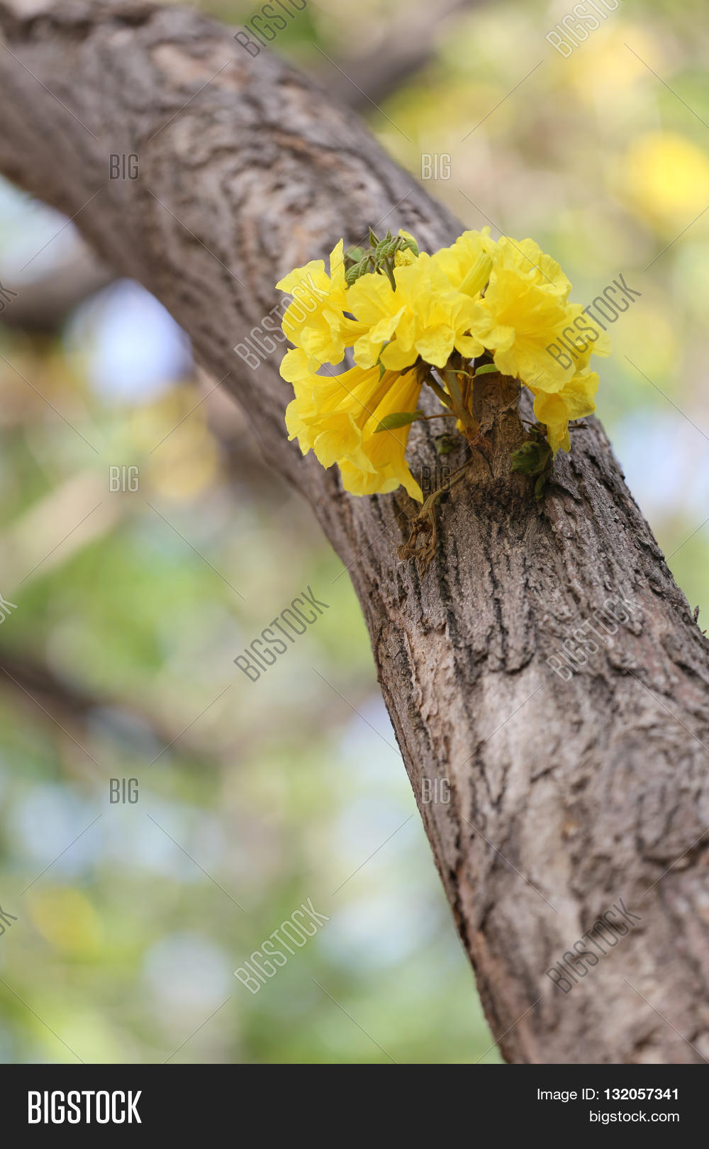 Tabebuia spectabilis image photo free trial bigstock tabebuia spectabilis flower or yellow tabebuia flower bloom on tree in the gardentropical yellow flowers a mightylinksfo