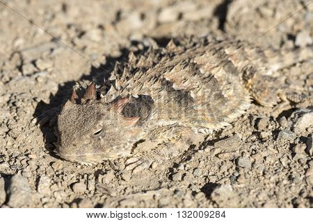 Macro closeup of Phrynosoma (Anota) coronatum Blainville's coast horned lizard well camouflaged on dry soil