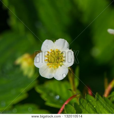 strawberry flower on a background of foliage in the garden