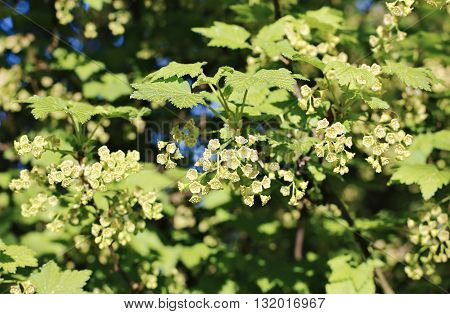 Branches of flowering red currant in spring garden