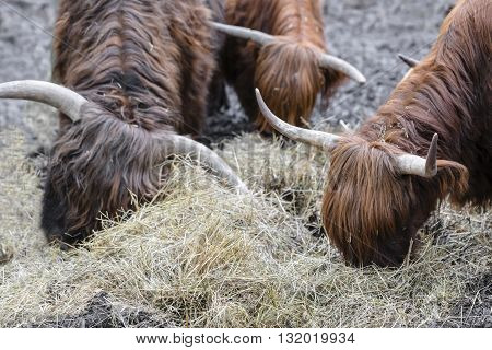 bulls with long wool eating hay close-up