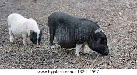 Vietnamese pigs are grazed on a farm outdoors