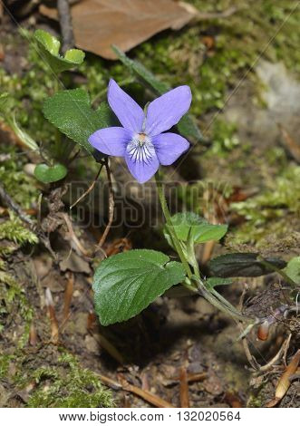 Common Dog-violet - Viola riviniana Flower and Leaves