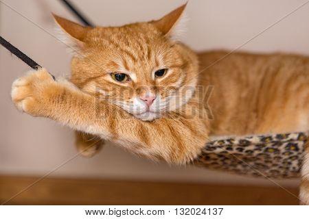 Sleepy ginger cat lazily lying in a hammock
