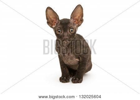 Small kitten brown Cornish Rex isolated on white