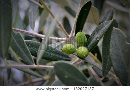 The olive fruit and the olive tree it's considered blessed by the greeks. This photo shows the beauty of olive from the Thassos Island.