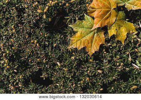 the Orange maple leaves fallen on a hedge