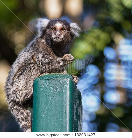 Shot of a small monkey marmoset Callithrix jacchus over the park fence with background out of focus staring to who looks to him and with one hand on the air.
