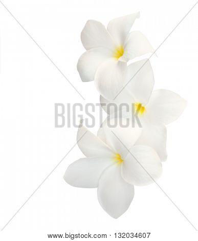 Three tropical flowers (Plumeria) isolated on white.