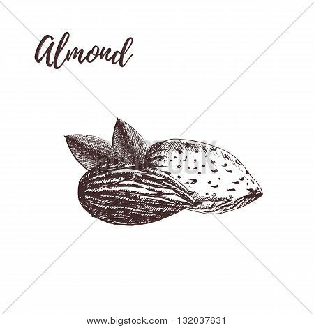 Almond. Almond woodcut style. Almond hand drawn sketch. Almond vector illustration.