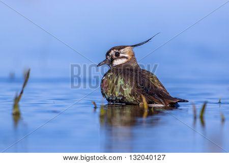 Bathing European Lapwing