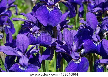 Field of Siberian Irises in full bloom during Spring