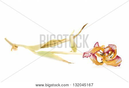 Dried pink magenta tulip flower over isolated white background