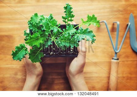 Person Holding A Kale Plant On A Rustic Table