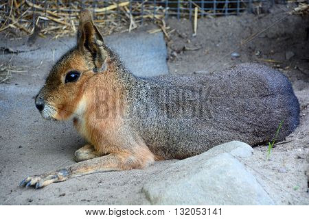The Patagonian mara is a relatively large rodent in the mara genus. It is also known as the Patagonian cavy, Patagonian hare or dillaby. poster