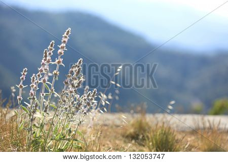 summer flower meadow in mountains at sunny day