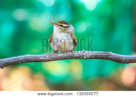 Yellow-browed Warbler On The Branch In Nature