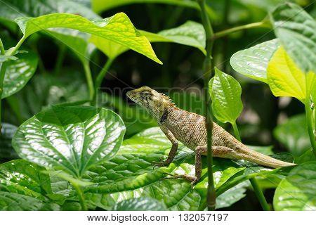 Chameleon on green leaf in the tropical forests of Thailand basilisk animal.