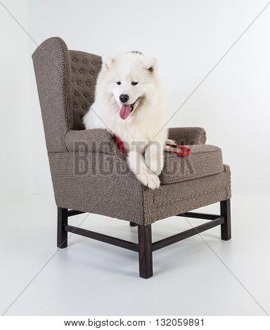 Dog on sofa isolated