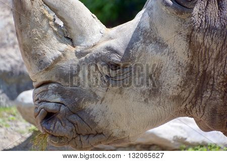 Rhinoceros also known as rhino, is a group of five extant species of odd-toed ungulates in the family Rhinocerotidae. Two of these species are native to Africa and three to southern Asia.