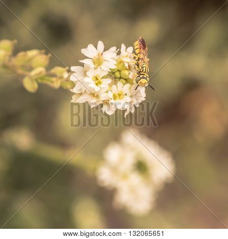 Macro of a sand wasp sitting on a white flower.