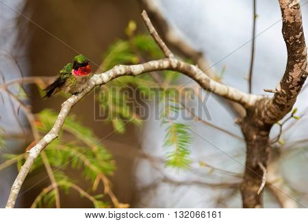 Ruby Throated Humming bird in a boreal forest in Northern Quebec after its long migration north. Very small hummingbirds with a lot of fight to do the long trip from the south.