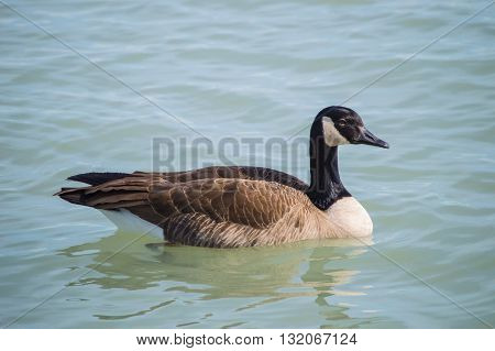 Large Canadian goose swimming in water. Shot at Chicago lakefront.