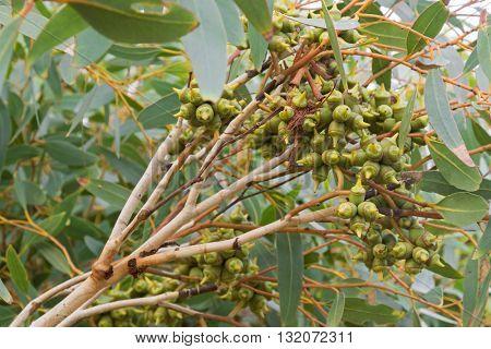 Closeup of green capsules of Saline tolerant Eucalyptus plant during Autumn in South Australia