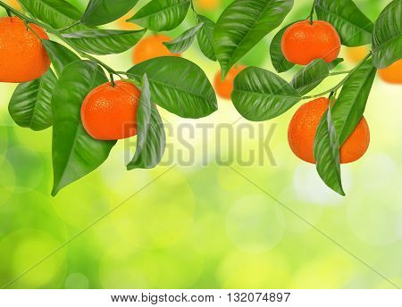 Mandarines hanging on a mandarine tree on green nature background