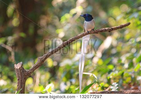 Asian Paradise Flycatcher Perching On A Branch