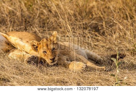 Cute wild Lion cub resting with its mother
