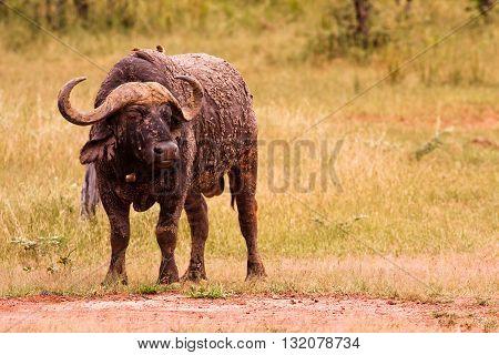 Wild African Cape Buffalo in the savannah