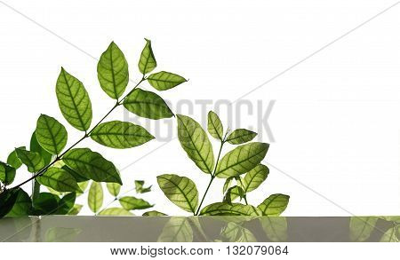 Green leaf with copy space, isolated on white background