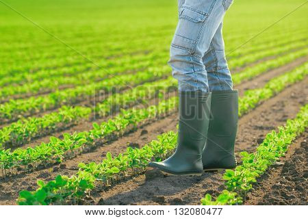 Unrecognizable male farmer standing in soybean plants rows in cultivated field agricultural soy field in sunset
