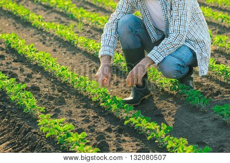 Unrecognizable male farmer in soybean field agricultural soy bean rows in sunset