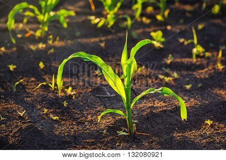 Weed control in corn crops young maize plants rows in cultivated field.