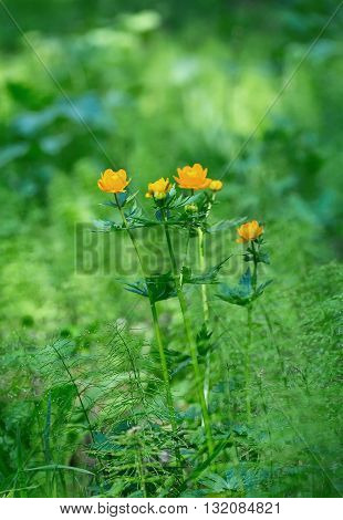 Flowering globe flowers. Trollius europaeus. The Bush of the globe on the background of forest meadows covered with flowers.