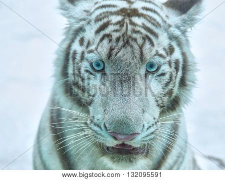 Head white tiger with blue eyes looking straight ahead from wise sage hidden streak carnivorous animals, this rare animal species should be preserved in the world