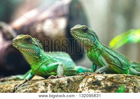 Two lizards look toward a bright eyes looking in the same direction as we find something new life, look at them very funny and cute, this to be preserved animals in wild