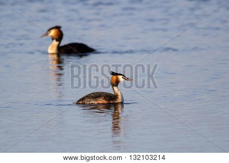 Pair of Great Crested Grebe (podiceps cristatus) swimming in golden sunlight with foreground focus