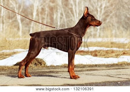 young brown dog Doberman Pinscher spring is in the show position