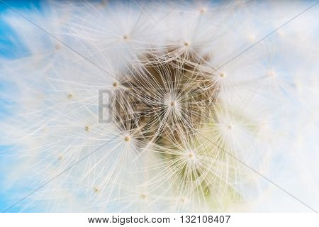 Dandelion abstract blue background. White blowball over blue sky. Shallow depth of field.