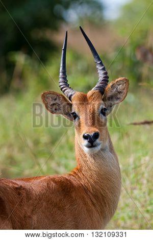 Close up of a wild male puku antelope