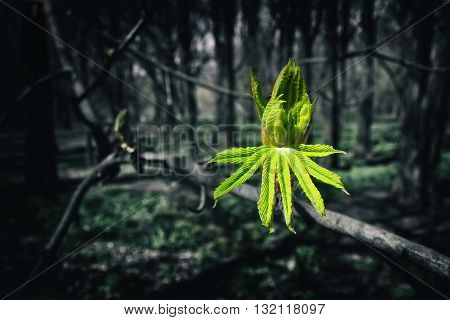 Image Of The Burgeoning Buds Of Chestnut Leaves