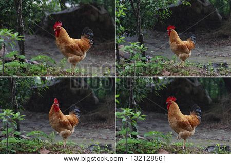 The Rooster on nature background of collection