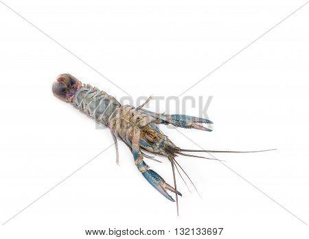 Australian blue crayfish Cherax quadricarinatus dead upturned On a white background isolated