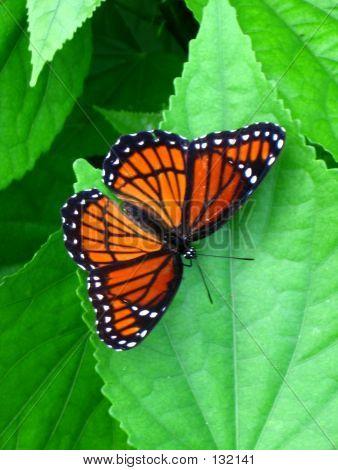 Monarch Butterfly Orange Black