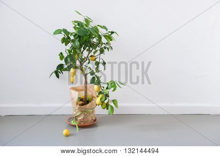 Lemon tree on floor white wall in the background stock picture